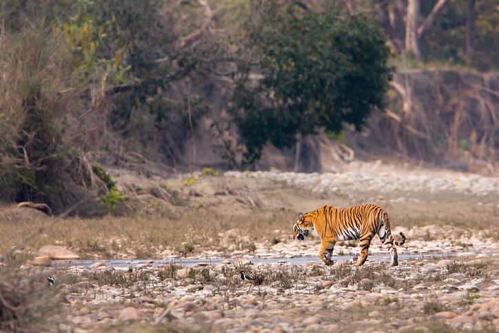 wild female tiger specie Panthera tigris in Nepal